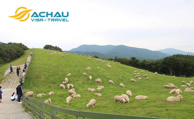 Khám phá trang trại cừu đẹp nhất Gangwon, Hàn Quốc2