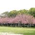 """Panorama Wisata Taman Sakura di Kebun Raya Cibodas """"Serasa di Jepang"""""""