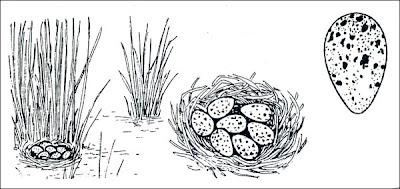 nido de Gallareta escudete rojo Fulica rufifrons