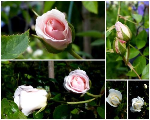 nunu s garn und stofflabor eine rose ist eine rose ist. Black Bedroom Furniture Sets. Home Design Ideas
