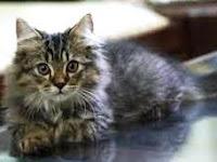 Tips dan Persiapan Memelihara Kucing Persia Bagi Pemula