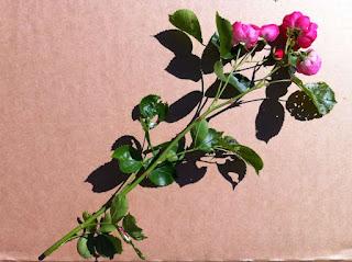 wir lieben rosen rosen vermehren durch stecklinge. Black Bedroom Furniture Sets. Home Design Ideas