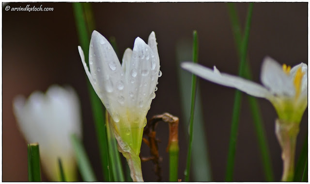 Rain Drops, Semitransparent, White, Grass Flower, flower