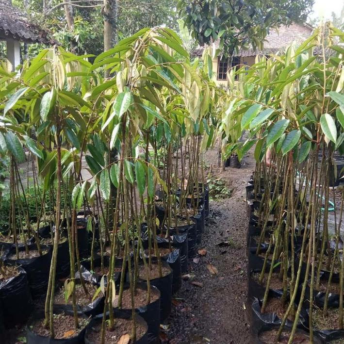 Bibit Durian Musangking kaki 3 Jawa Barat