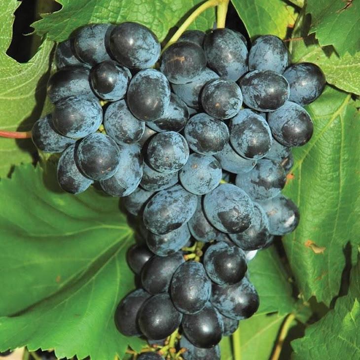 Biit tanaman buah anggur import jupiter seedles bibit anggur stek grafting bibit anggur murah Tebingtinggi