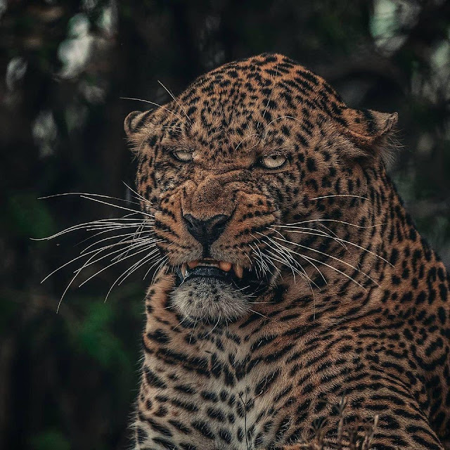 Not all leopards are photogenic cute