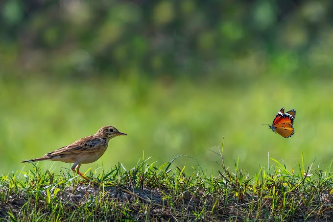 Paddyfield Pipit with butterfly