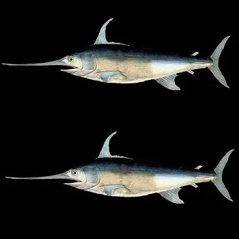 तार मासा, Swordfish name in Marathi
