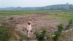 Kekeringan, Ratusan Ha Tanaman Padi di Desa Jambu Terancam Gagal Panen