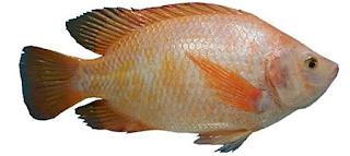 Tehnik Budidaya Ikan Nilem