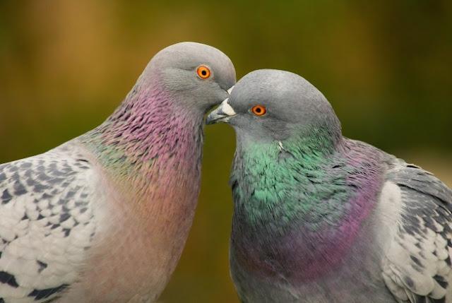Por que nunca vemos filhotes de pombas nas ruas?