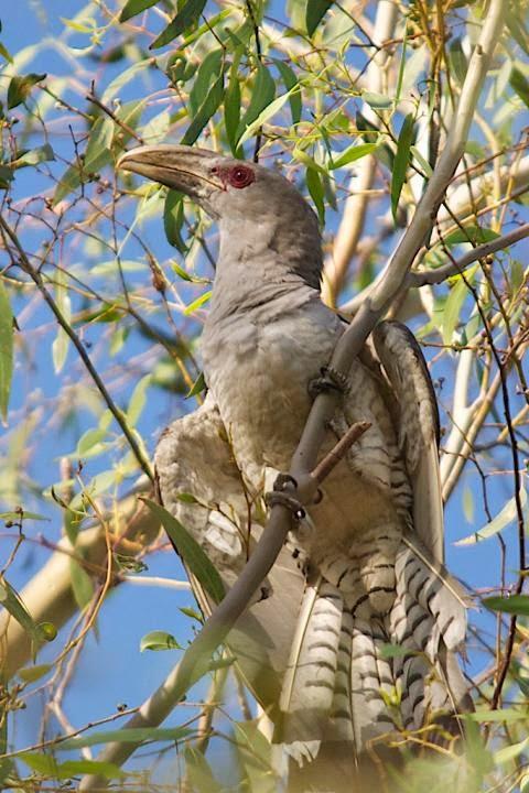 Cuco tucán: Scythrops novaehollandiae