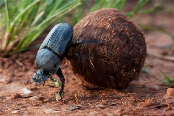 Bok böceği - B hayvan isimleri
