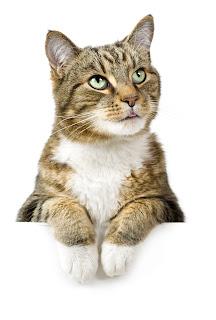 Tabby cat over white sign_Adobe Stock