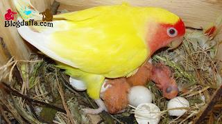 Telur Lovebird Menetas