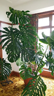 Jual tanaman Monstera giant (monsterJual tanaman Monstera giant (monstera deliciosa) a deliciosa)