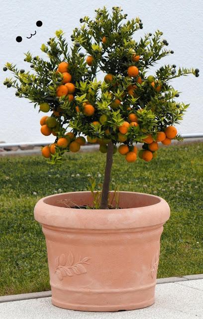 Tabulampot tanaman buah jeruk
