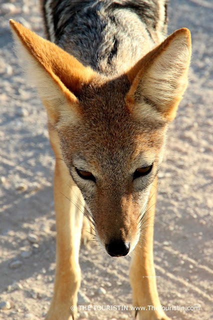Face of a jackal, standing on sandy ground.