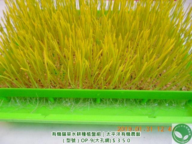 小麥,貓草,小麥草水耕法,回春水的功效,小麥草種植,小麥草,蝦皮小麥草種子,貓草怎麼種,衛生紙種貓草,貓草種植