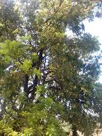 काफल के फायदे काफल का पेड़ काफल फल in English काफल का वैज्ञानिक नाम काफल का अर्थ काफल का फल काफल in English काफल ट्री काफल का वानस्पतिक नाम काफल फल in English name Kafal पेड़ काफल इन इंग्लिश