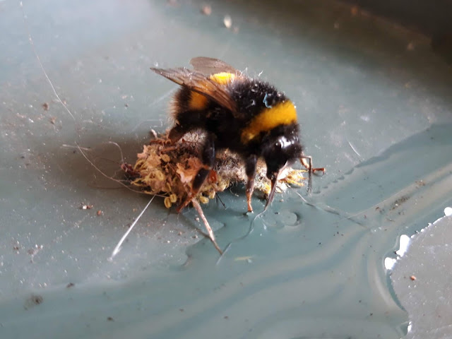 Bee sipping sugar water
