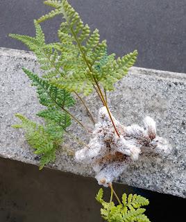親株から外れた猫の手シノブの根茎