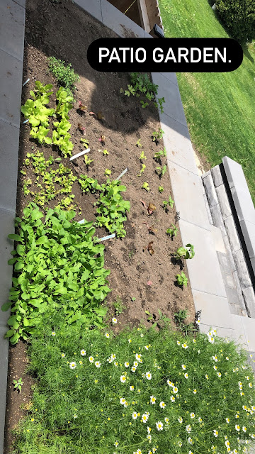 Bed planted within a paved patio with blooming chamomile, young herbs, looseleaf greens and small heads of lettuce