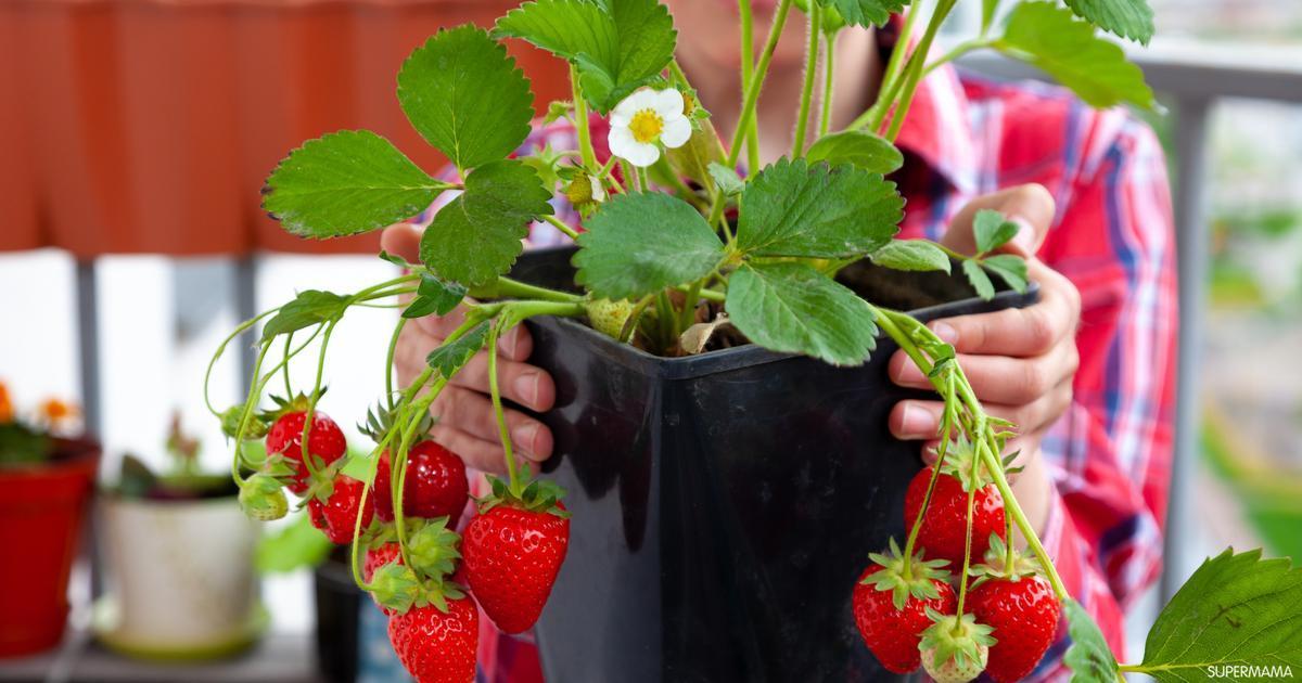 كيفية زراعة الفراولة في المنزل والأعتناء بها