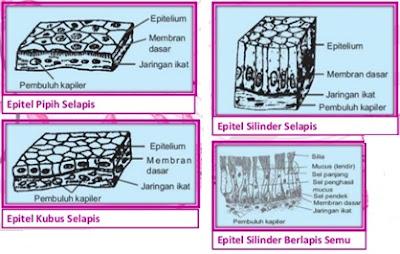 Epitelium pipih