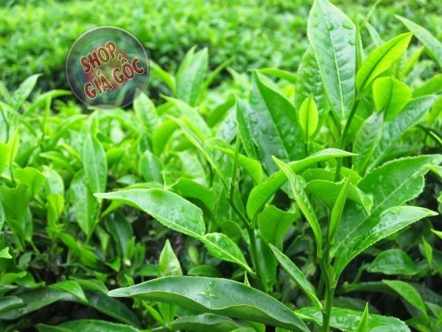 Tác dụng của trà xanh