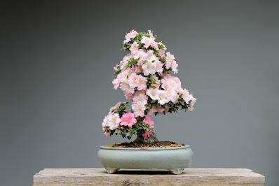bonsai-fiori rosa