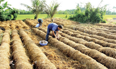trồng nấm xuất khẩu