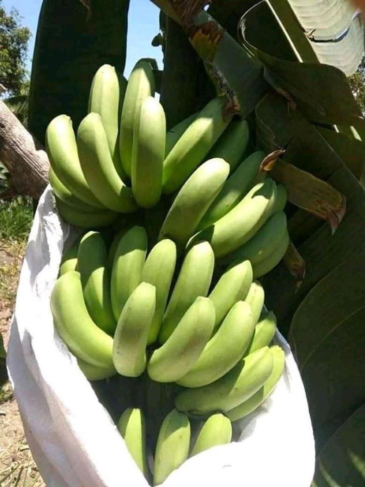 bibit asli pisang morosebo unggulan Sumatra Utara