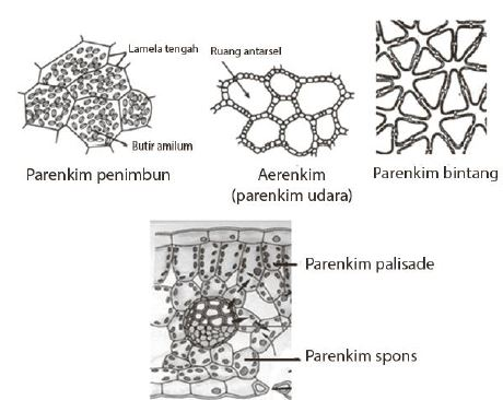 Gambar 5. Jenis-jenis jaringan parenkim - www.latelitepost.blogspot.com
