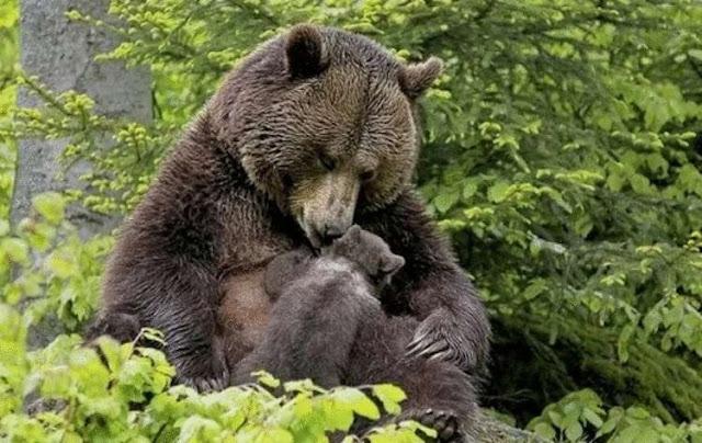 Медведица привела своего медвежонка к девушке, чтобы она вытащила из лапы медвежонка занозу.