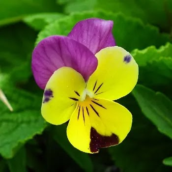 पानसडी, Pansy flowers name in Marathi