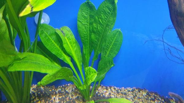 Angelfish Aquarium New Aquascape - Amazon Sword