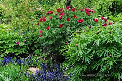 Paeonia anomala × Paeonia tenuifolia