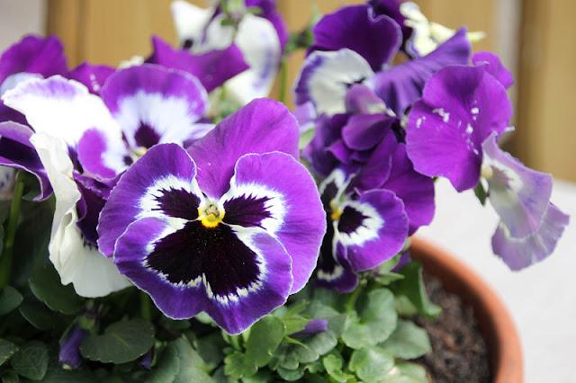 Stiefmütterchen mit lila-weißen Blüten