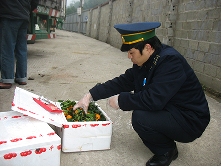 Lấy mẫu quýt nhập khẩu để kiểm dịch tại Lạng Sơn.