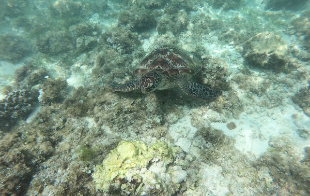 Turtle - Moalboal - Philippines