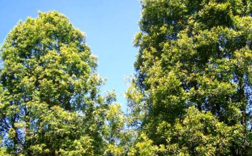 Pohon, Cengkeh, Di, Selayar ,Tahun, Ini ,Tidak, Berbuah