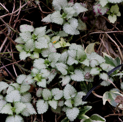 Lamium White Nancy
