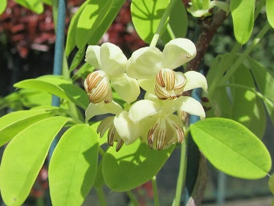 Fiori Bianchi Akebia quinata var. Alba