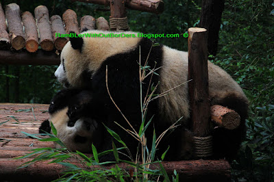 Giant panda, Chengdu Research Base of Giant Panda Breeding, Chengdu, Sichuan, China