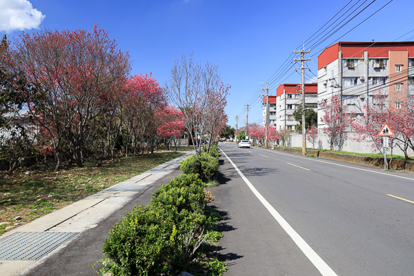 台中新社櫻花景點花況,櫻木花道、興社街、大南坡,賞櫻好去處