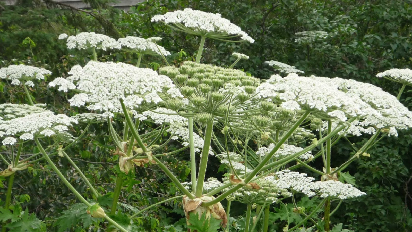 Giant hogweed, plant that causes visual deficiency and severe singeing, found in Virginia
