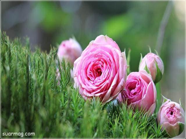 خلفيات ورود جميلة جدا 7 | Beautiful Roses Wallpapers 7