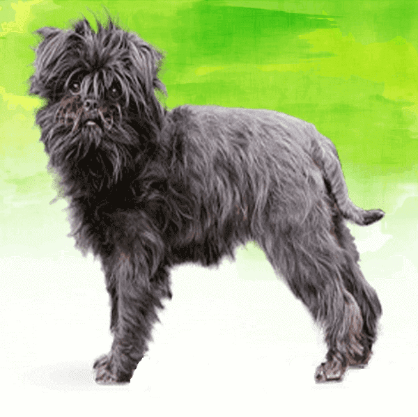 dog breeds affenpinscher