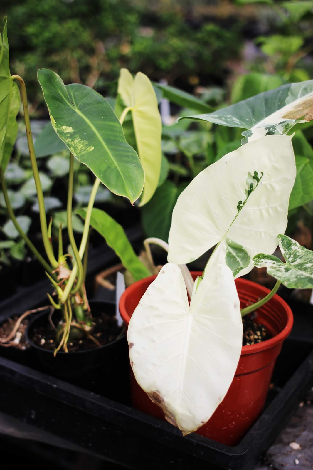image of variegated syngonium